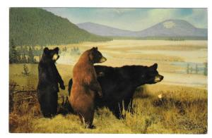 American Black Bear Vintage Eric Seich Postcard Lowman Photo