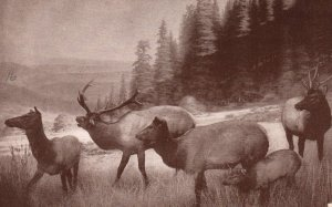 Roosevelt Elk Group,Museum of the California Academy of Sciences BIN