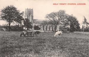 LODDON NORFOLK UK HOLY TRINITY CHURCH~GRAZING CATTLE~PHOTO POSTCARD 1907 PMK