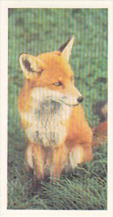 Brooke Bond Vintage Trade Card Woodland Wildlife 1980 No 22 Fox