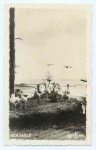 RPPC of Seagulls, by Christian, 18,  DOPS 1925-1942