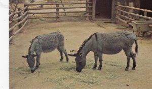 Miniature Sicilian Donkeys , Arizona, 50-60s