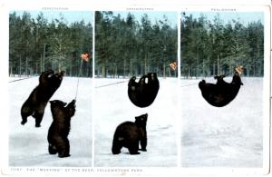 YELLOWSTONE, THE 'MEATING' OF THE BEARS, DIVIDED BACK