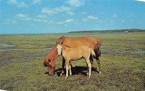 Grazing on Assateague Chincoteague, VA, USA Horse Unused
