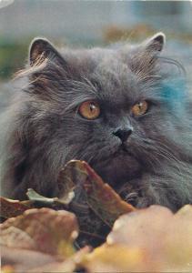 Nero Blue Persian cat postcard