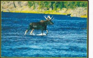 Montana Bull Moose Crossing Madison River