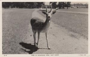RP: EAST SHEEN , UK , 1957 ; Deer in Richmond Park ;TUCK