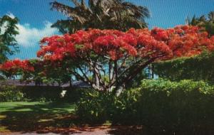 Hawaii The Flame Tree