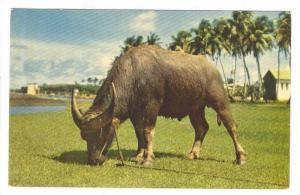 Carabao (Water Buffalo), Guam, 1940-1960s