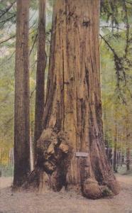 Big Trees Santa Cruz California Handcolored Albertype