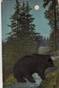 Attached Fur Bear , 1907