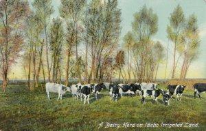 Dairy herd on irrigated land , Idaho , 1900-10s