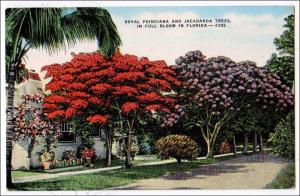 Royal Poinciana & Jacaranda Trees, Florida