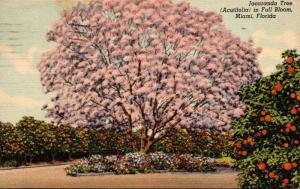 Florida Miami Jacaranda Tree In Full Bloom 1954 Curteich