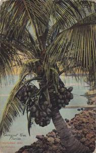 Cocoanut Tree,Florida,00-10s
