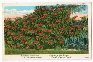 Poinsettia in Bloom, Florida