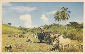 Reaping Sugar Cane,Jamaica,W.I.,40-60s