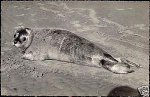 Sweet SEAL on the Beach (1950s) RPPC