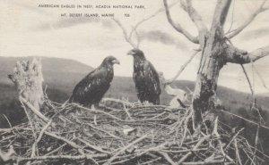 MT DESERT ISLAND, Maine, 1900-10s; American Eagles in Nest, Acadia National Park