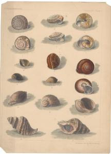 Snails Shells Conch US Cmdr Perry Japan Expedition Lithograph Conchology Plate V