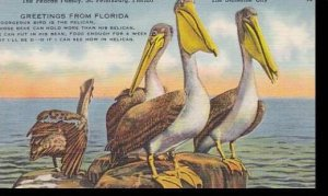 Florida St Petersburg The Pelican Family