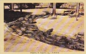 Florida St Augustine Alligators At The Alligator Farm