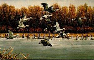Birds Lesser Snow Geese At Desoto National Willife Refuge Missouri Valley Iowa