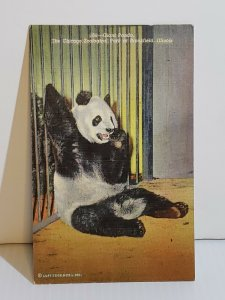 VTG Postcard Giant Panda 1943 Chicago Zoological Park Brookfield Illinois  521