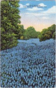 FIELD full of Texas State flower  BLUE BONNETS, 1930/40s