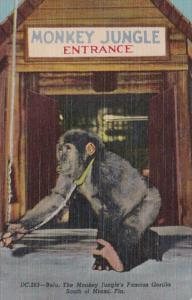 Florida Miami Monkey Jungle Entrance Bulu The Famous Gorilla Curteich