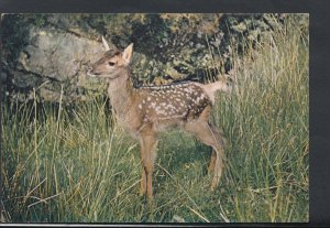 Animals Postcard - A Young Red Deer    RR3265