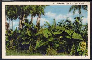 A Banana Grove in Florida