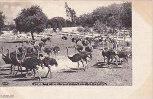 California South Pasadena Scene At Cawston Ostrich Farm