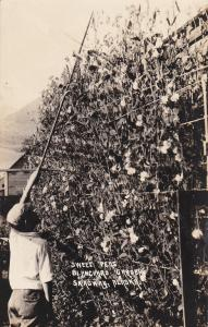 RP: SKAGWAY, Alaska , 1910s; Sweet Peas , Blanchard Garden