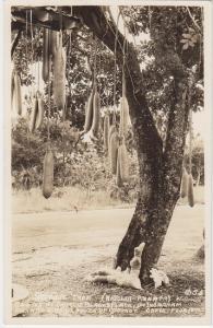 COCONUT GROVE near MIAMI / SAUSAGE TREE - REAL PHOTO 1940s era