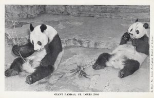 Panda Bears , Forest Park Zoo , ST. LOUIS , Missouri , 1950-60s #3