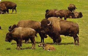Buffaloes, Custer State Park Black Hills, South Dakota, USA Buffalo 1967