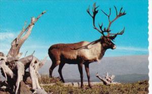 Canada Majestic Mountain Caribou British Columbia