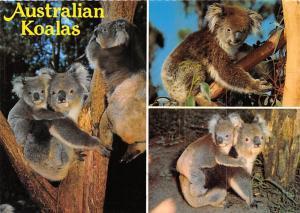 Koalas - Australia