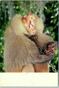 Miami, Florida Postcard Charlie the Lion-Killing Baboon at the Aquafair c1950s
