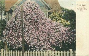 Auburn Placer County California Rose Bush hand colored #AA299 1908 Postcard 9437