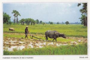 Thai Farmers Working In Rice Paddies Thailand Postcard