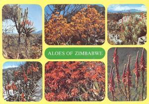Zimbabwe Aloes Euphorbia Ingens Flowers, Fleurs