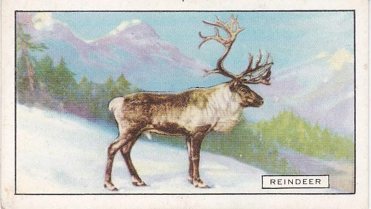 Cigarette Cards Gallaher Wild Animals No 45 The Reindeer