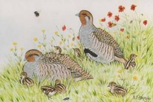 Male Partridge Local East Anglia Bird Essex Suffolk Rare Birds Postcard