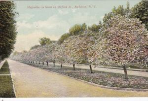 New York Rochester Magnolias In Bloom On Oxford Street 1910