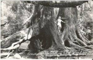 Worlds Largest Octopus Trees Redwood Park CA RPPC Black & White Real Photograph