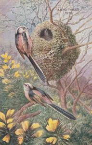 AS; 1900-10s; Birds, Long-Tailed Tits
