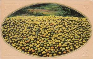 Fruit Harvest Of Oranges 1912