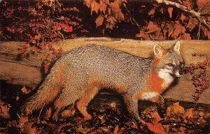 Gray fox Animals, Misc, Unused